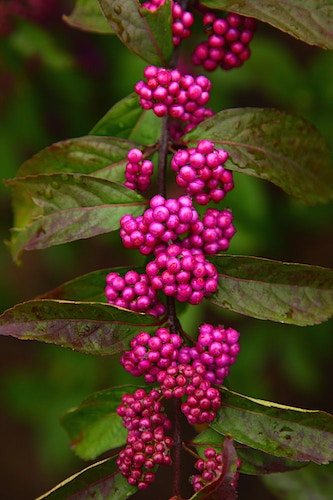 Purple Beautyberry - Photo Print - Aaron Grabiak Photography & Fine Art.