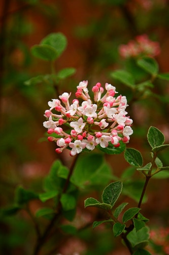 Koreanspice Viburnum - Photo Print - Aaron Grabiak Photography & Fine Art.