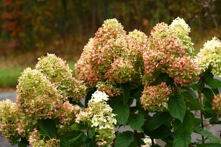Limelight Hydrangea - Autumn - Photo Print - Aaron Grabiak Photography & Fine Art.