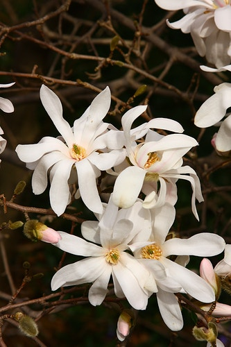 Star Magnolia - Photo Print - Aaron Grabiak Photography & Fine Art.