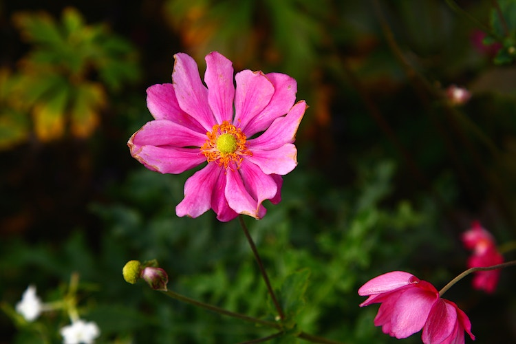 Fall Japanese Anemone - Photo Print - Aaron Grabiak Photography & Fine Art.