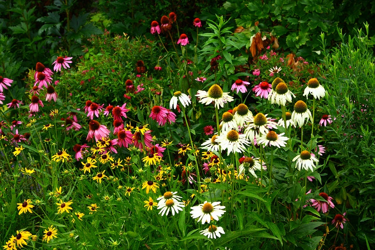 Echinacea & Rudbeckia - Photo Print - Aaron Grabiak Photography & Fine Art.