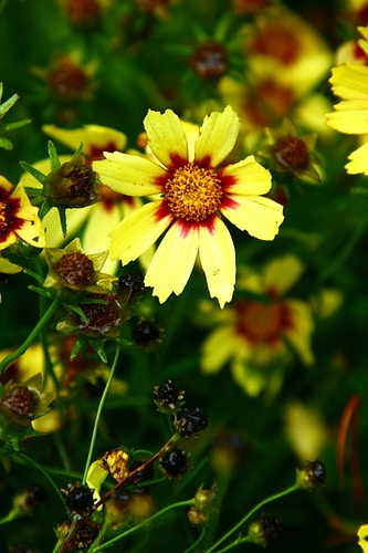 'Redshift' Coreopsis - Photo Print - Aaron Grabiak Photography & Fine Art.