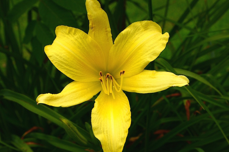 Yellow Daylily - Photo Print - Aaron Grabiak Photography & Fine Art.