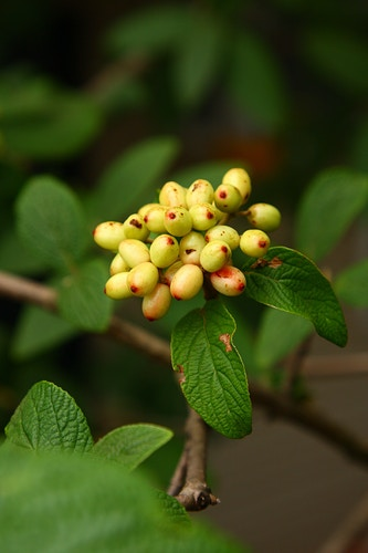 Allegheny Viburnum Fruit - Photo Print - Aaron Grabiak Photography & Fine Art.