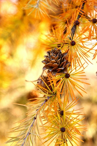 Japanese Larch - Cones - Photo Print - Aaron Grabiak Photography & Fine Art.