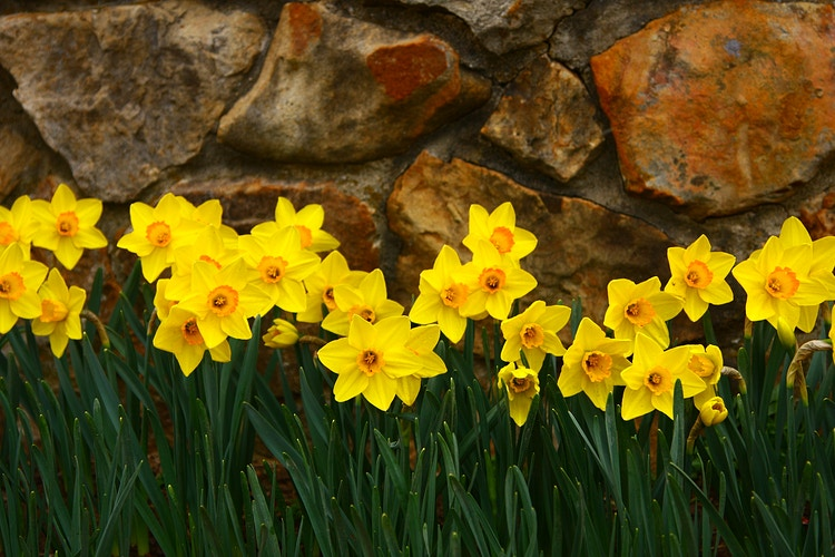 Daffodils, I - Photo Print - Aaron Grabiak Photography & Fine Art.