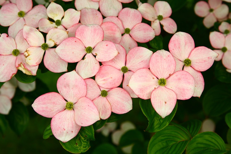 Pink American Dogwood, III - Photo Print - Aaron Grabiak Photography & Fine Art.
