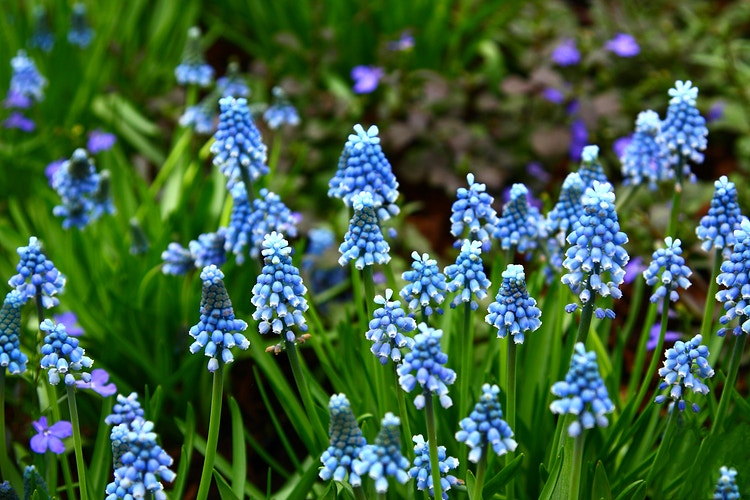 Grape Hyacinth - Photo Print - Aaron Grabiak Photography & Fine Art.