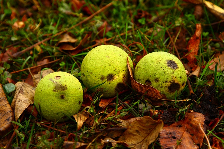 English Walnuts - Photo Print - Aaron Grabiak Photography & Fine Art.