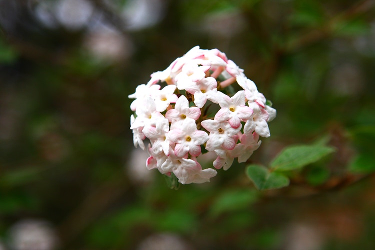 Koreanspice Viburnum, II - Photo Print - Aaron Grabiak Photography & Fine Art.