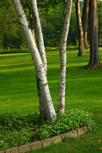 White Birch - Photo Print - Aaron Grabiak Photography & Fine Art.