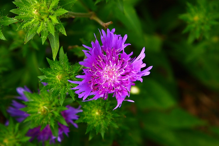 Stokes' Aster - Photo Print - Aaron Grabiak Photography & Fine Art.