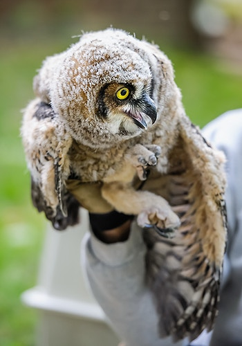 Owl Moon Raptor Center - Adam Fried Photos