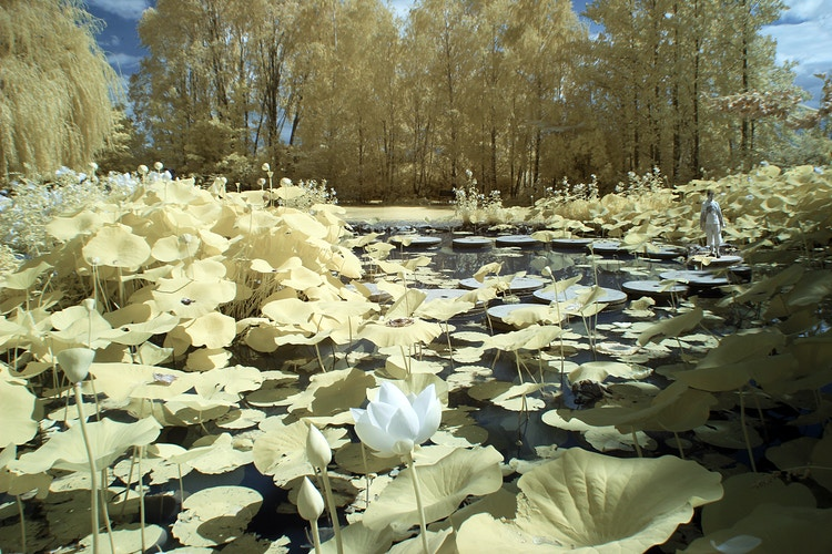 Lily Pads - Alexis Dillon   PHOTOGRAPHER