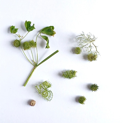Seed and leaves of the Spotted Medick. - Alison Jackson-Bass