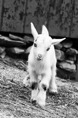 Black And White - Farm Animal Photography & Greeting Cards for Sale in NJ | Barnyard Moments