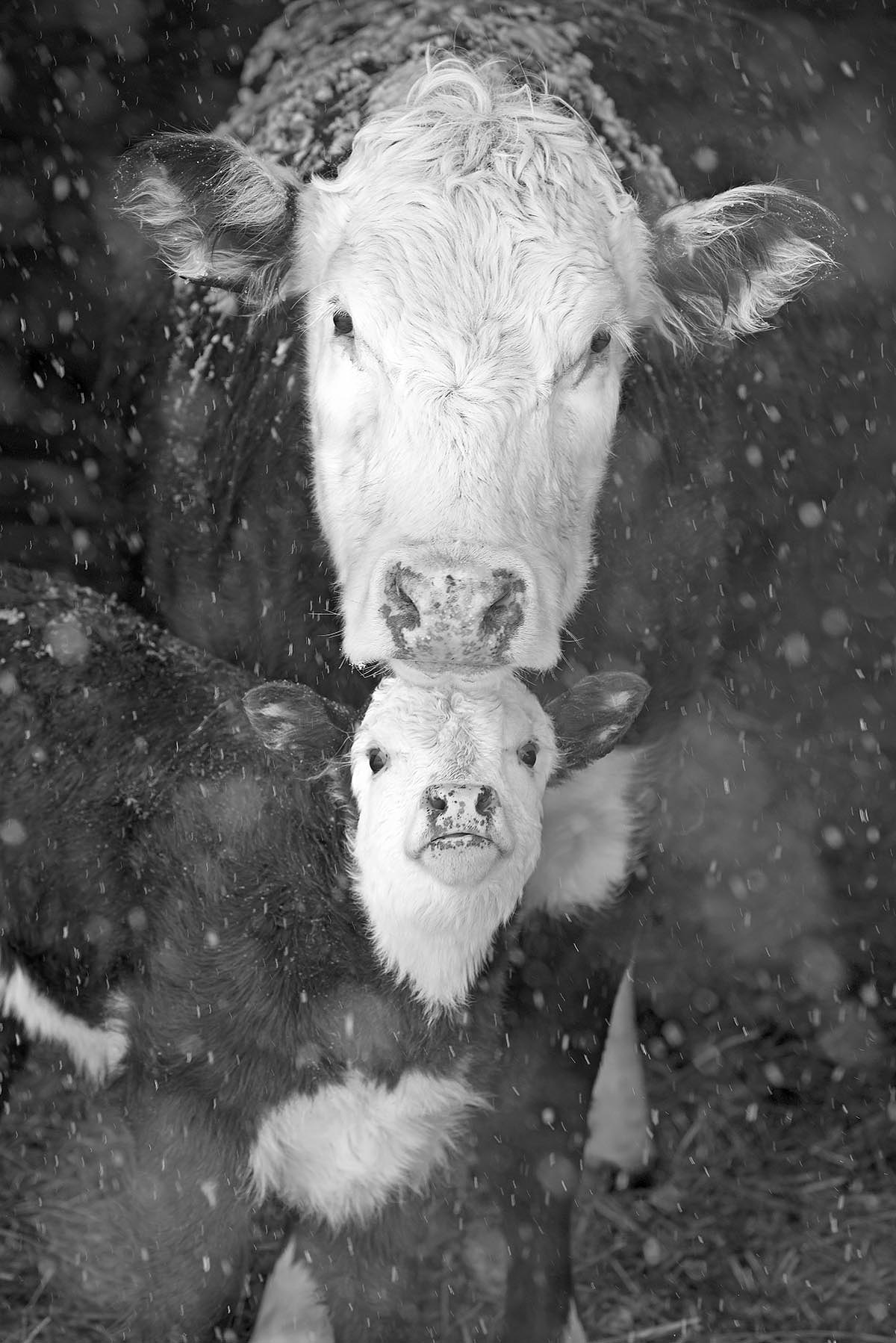Black and white farm animal photography greeting cards for sale