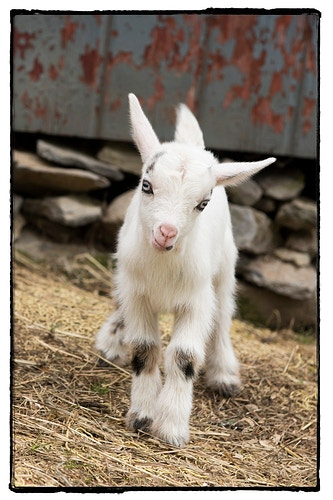 7 - Farm Animal Photography & Greeting Cards for Sale in NJ | Barnyard Moments