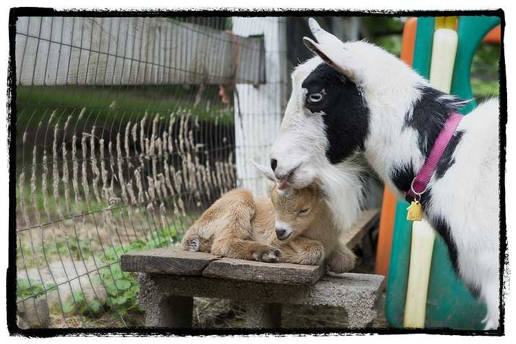 a mother's kiss - Farm Animal Photography & Greeting Cards for Sale in NJ   Barnyard Moments
