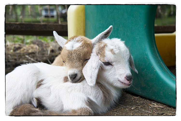 my favorite pillow - Farm Animal Photography & Greeting Cards for Sale in NJ | Barnyard Moments