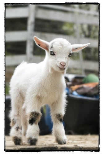 I'm Just a Little KId - Farm Animal Photography & Greeting Cards for Sale in NJ | Barnyard Moments