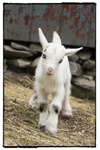 Look Out World Here I Come - Farm Animal Photography & Greeting Cards for Sale in NJ | Barnyard Moments