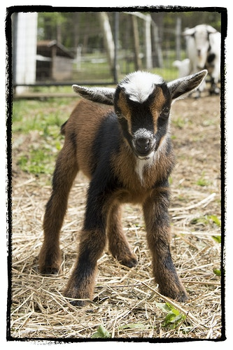 I'm a Big Kid - Farm Animal Photography & Greeting Cards for Sale in NJ   Barnyard Moments