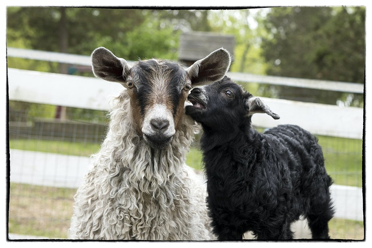 MOM!! - Farm Animal Photography & Greeting Cards for Sale in NJ   Barnyard Moments