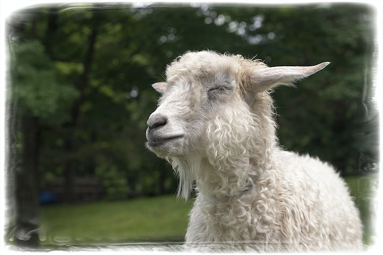 close your eyes and dream - Farm Animal Photography & Greeting Cards for Sale in NJ   Barnyard Moments