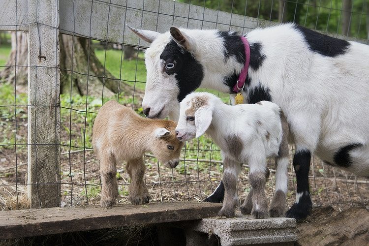 watching the kids - Farm Animal Photography & Greeting Cards for Sale in NJ   Barnyard Moments