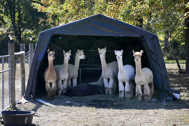 camp out - Farm Animal Photography & Greeting Cards for Sale in NJ   Barnyard Moments