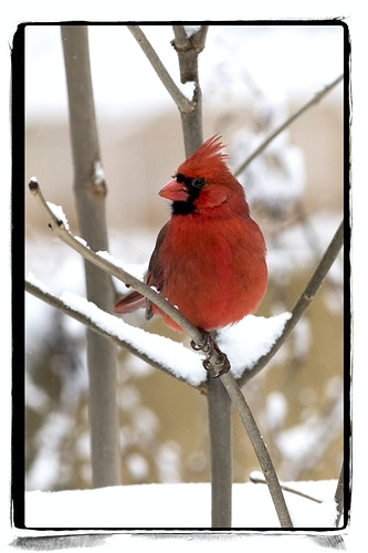 cardinal 1 - Farm Animal Photography & Greeting Cards for Sale in NJ | Barnyard Moments