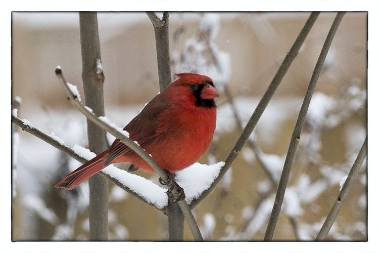 cardinal 2 - Farm Animal Photography & Greeting Cards for Sale in NJ | Barnyard Moments