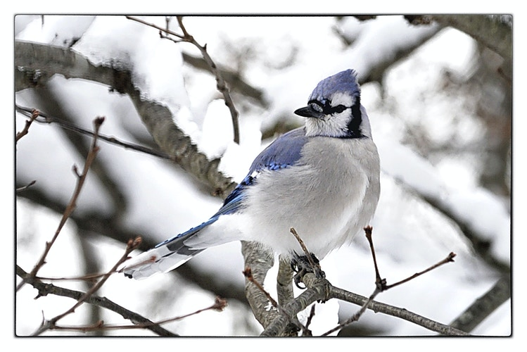 blue jay - Farm Animal Photography & Greeting Cards for Sale in NJ | Barnyard Moments