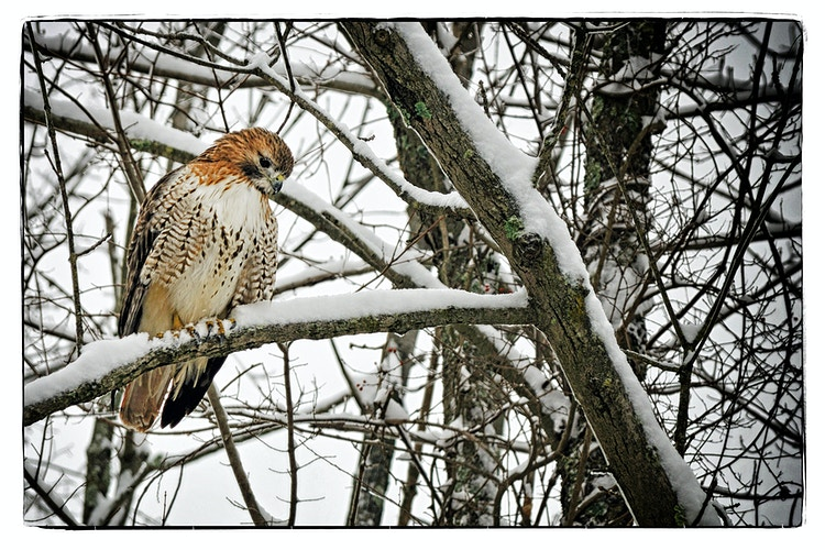 winter hawk - Farm Animal Photography & Greeting Cards for Sale in NJ | Barnyard Moments