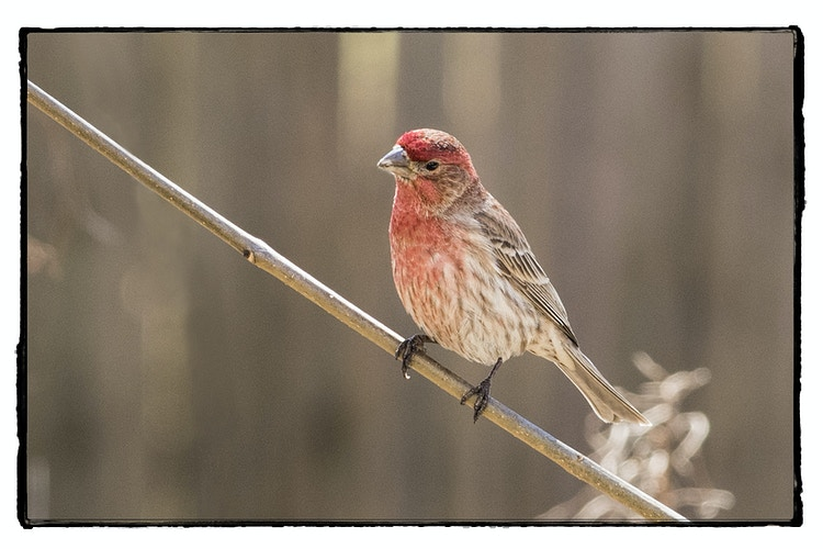 home finch - Farm Animal Photography & Greeting Cards for Sale in NJ | Barnyard Moments