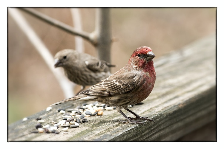home finch pair - Farm Animal Photography & Greeting Cards for Sale in NJ | Barnyard Moments