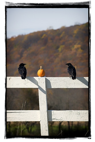 two old crows - Farm Animal Photography & Greeting Cards for Sale in NJ | Barnyard Moments