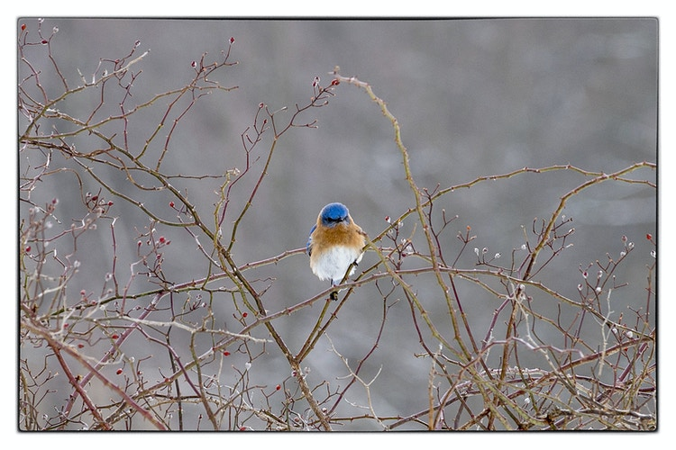 blue bird winter - Farm Animal Photography & Greeting Cards for Sale in NJ | Barnyard Moments