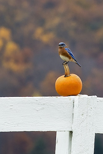 bluebird 2 - Farm Animal Photography & Greeting Cards for Sale in NJ | Barnyard Moments