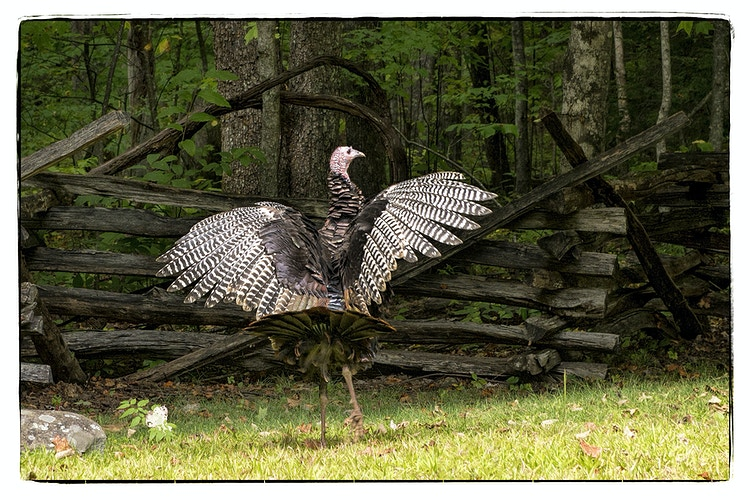 Tennessee wild turkey - Farm Animal Photography & Greeting Cards for Sale in NJ | Barnyard Moments