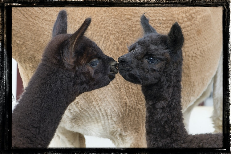 mirror image - Farm Animal Photography & Greeting Cards for Sale in NJ   Barnyard Moments