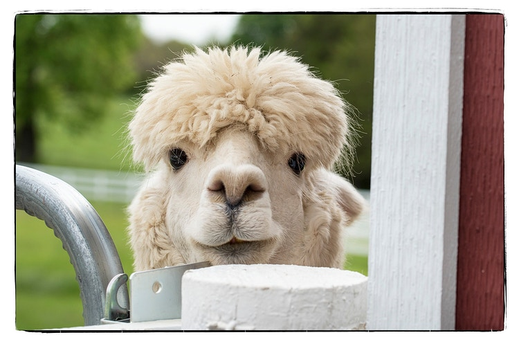 32 - Farm Animal Photography & Greeting Cards for Sale in NJ | Barnyard Moments