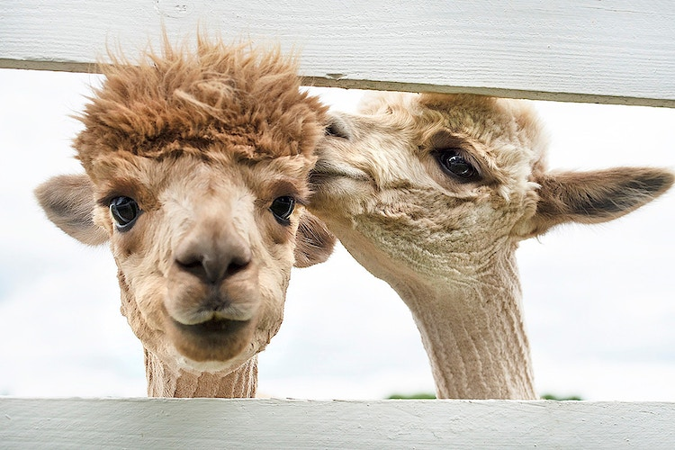 The Crazy World of Me & You - Farm Animal Photography & Greeting Cards for Sale in NJ   Barnyard Moments