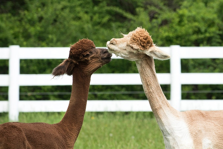 Love Needs No Words - Farm Animal Photography & Greeting Cards for Sale in NJ   Barnyard Moments