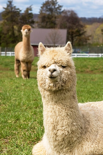 Alpacas - Farm Animal Photography & Greeting Cards for Sale in NJ | Barnyard Moments