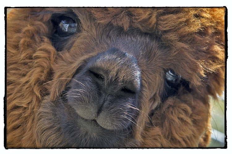 baby fur - Farm Animal Photography & Greeting Cards for Sale in NJ | Barnyard Moments