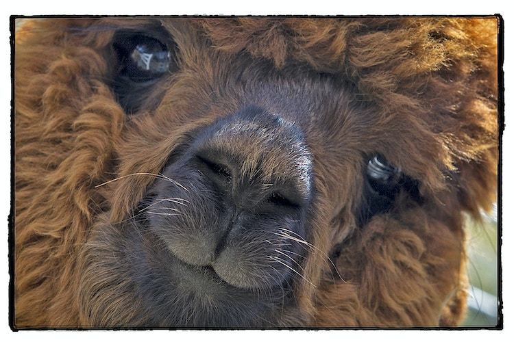 baby fur - Farm Animal Photography & Greeting Cards for Sale in NJ   Barnyard Moments