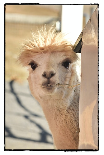 guess who? - Farm Animal Photography & Greeting Cards for Sale in NJ   Barnyard Moments